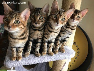 Bengal kitten ready