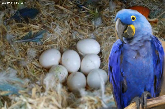 we sell very fertile candle lit eggs of all species of parro